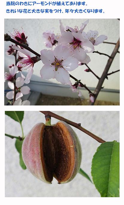 当院のわきにアーモンドが植えてあります。きれいな花と大きな花をつけ、年々大きくなります。